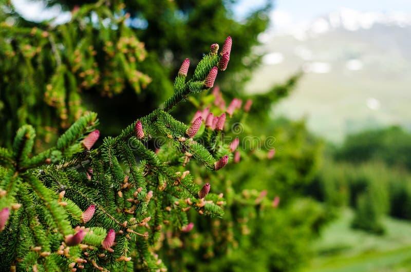 Picea abies конусы стоковое изображение