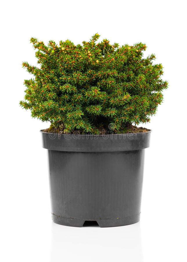Free Picea Abies Stock Images - 70187654