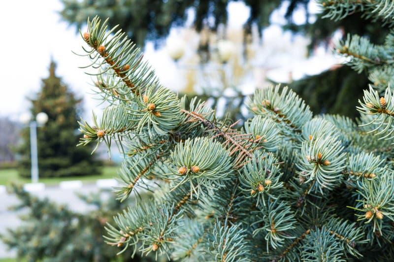 Picea azul fotografía de archivo