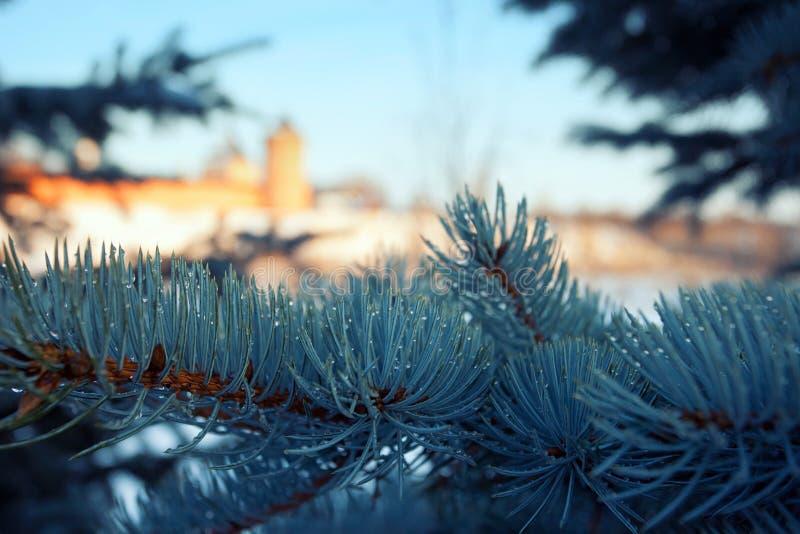 Picea azul con descensos de la macro del agua fotos de archivo