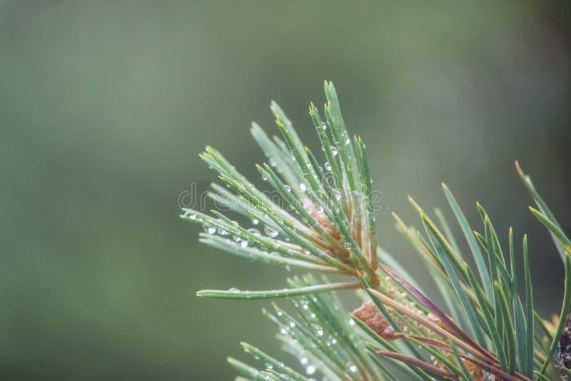 Picea azul con los descensos del agua, macro fotografía de archivo libre de regalías