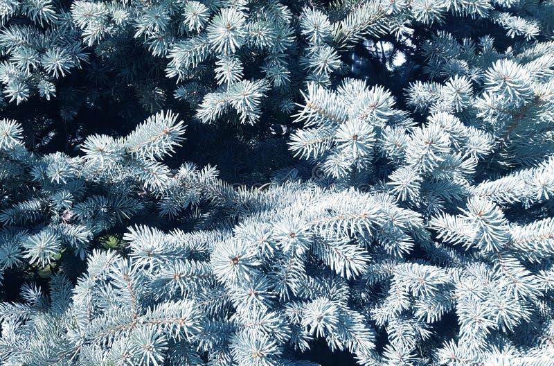Picea azul, fondo natural hermoso, textura de las ramas del abeto fotografía de archivo