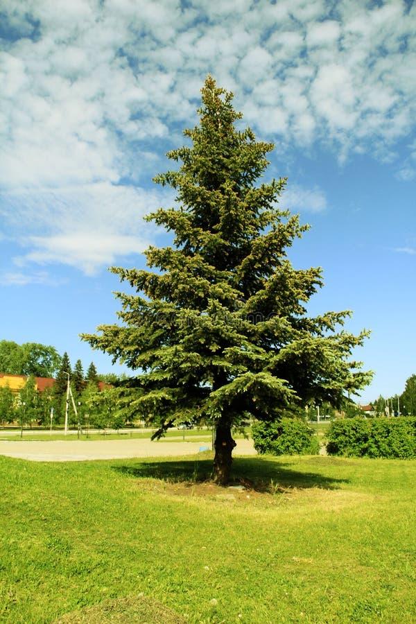 Picea azul grande en el parque fotos de archivo libres de regalías