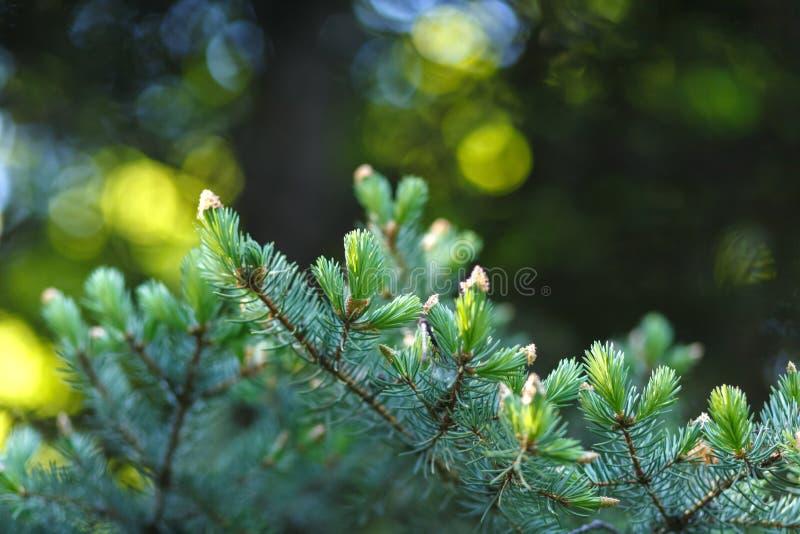 Picea con el primer verde jugoso joven de los lanzamientos en un fondo borroso del bosque con el bokeh redondo imágenes de archivo libres de regalías