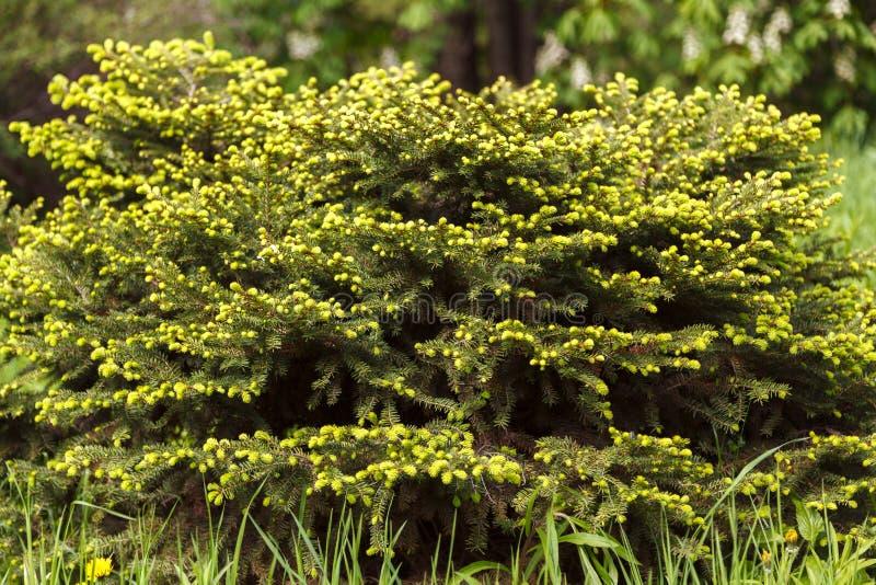 Picea con el primer verde jugoso joven de los lanzamientos en un fondo borroso del bosque con el bokeh redondo foto de archivo libre de regalías
