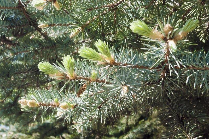 Picea de la rama con los lanzamientos jovenes foto de archivo