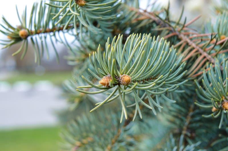 Picea del azul de las agujas imagen de archivo libre de regalías