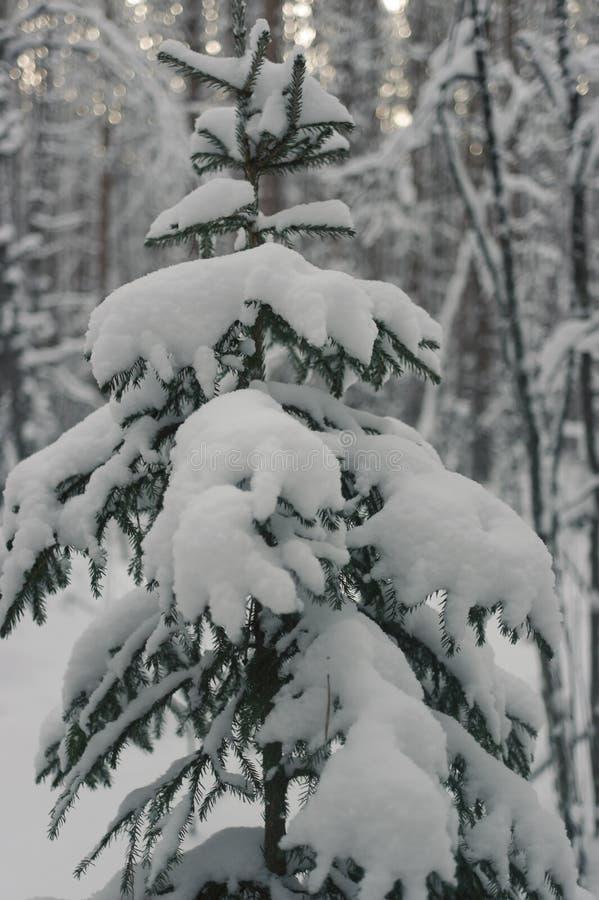 Picea en el bosque del invierno foto de archivo