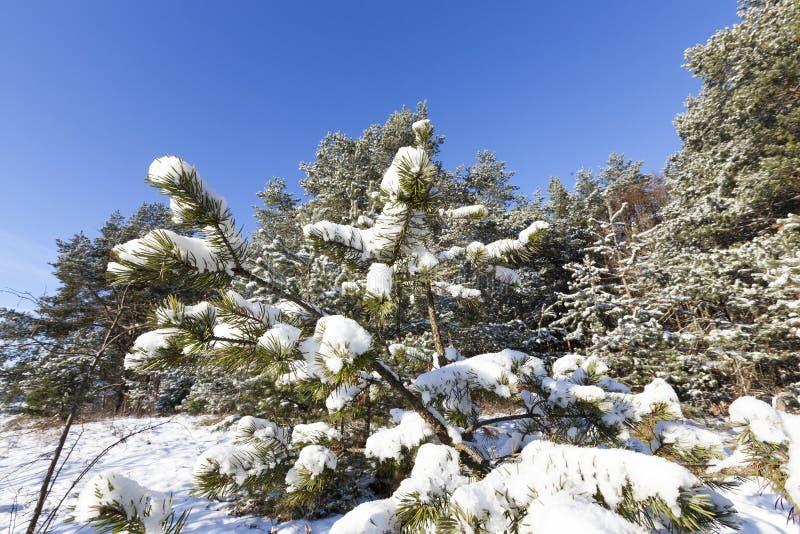 Picea en la nieve, invierno foto de archivo