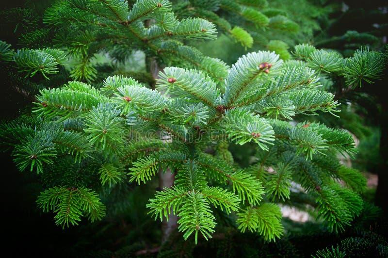 Picea excelsa attillato bulgaro fotografie stock