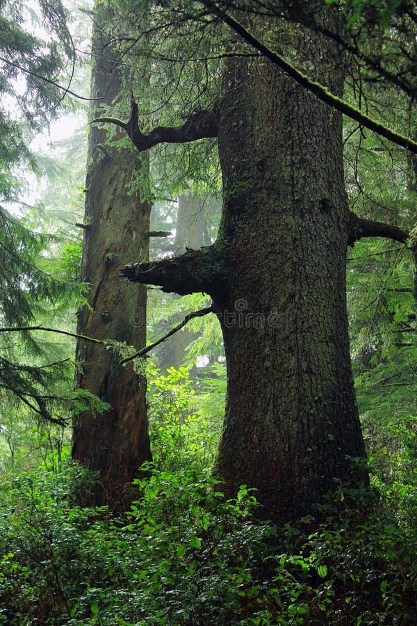 Picea gigante de Sitka en selva tropical pacífica a lo largo del rastro de la ensenada del goleta, el Pacífico Rim National Park, fotos de archivo libres de regalías