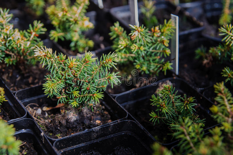 Download Picea glauca conica laurin stock image. Image of close - 37432175