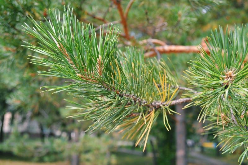 Picea hermosa fotos de archivo libres de regalías