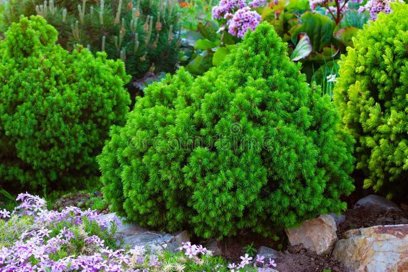 Picea, picea imperecedera en diseño del paisaje en el jardín botánico fotos de archivo libres de regalías