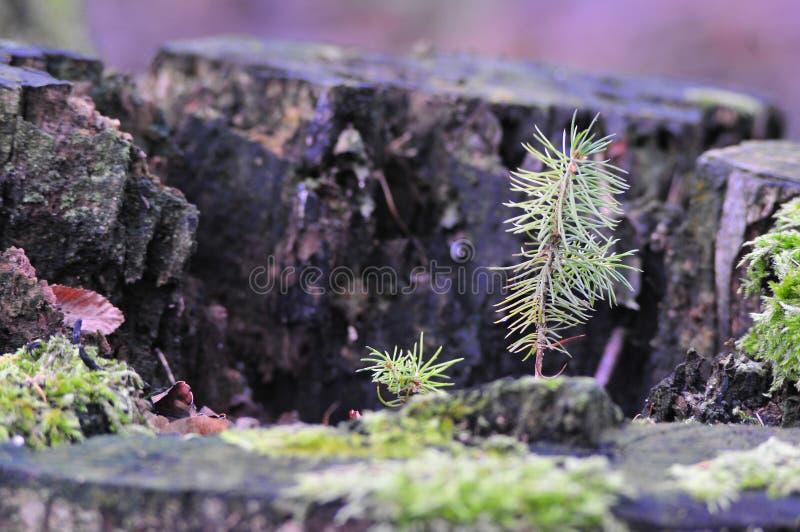 Picea joven que crece de tocón de árbol putrefacto viejo fotos de archivo libres de regalías