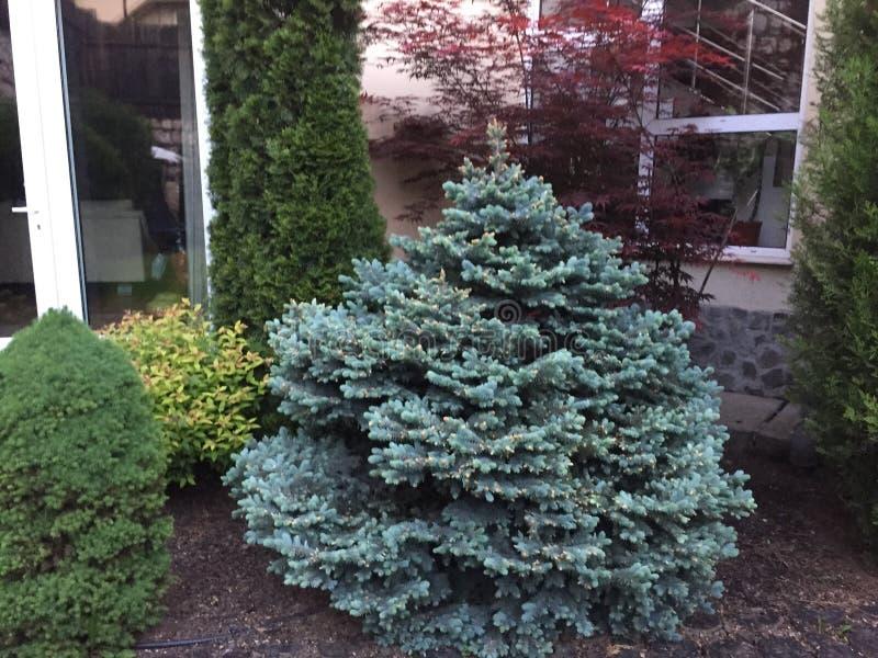 Picea pungens glauca globosa zdjęcia royalty free
