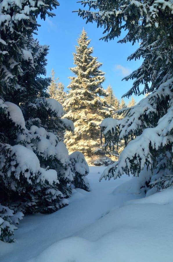 Picea soleada imágenes de archivo libres de regalías
