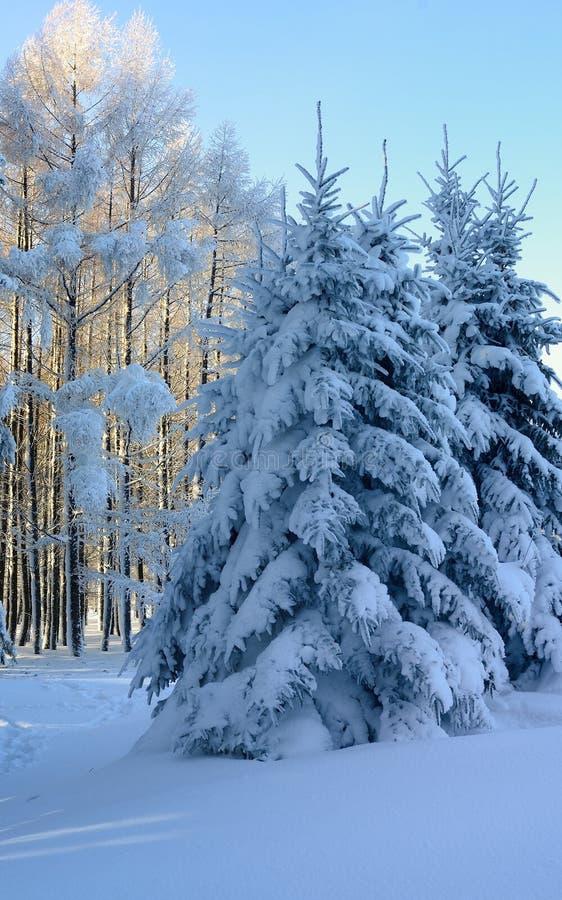 Picea y alerce imagen de archivo