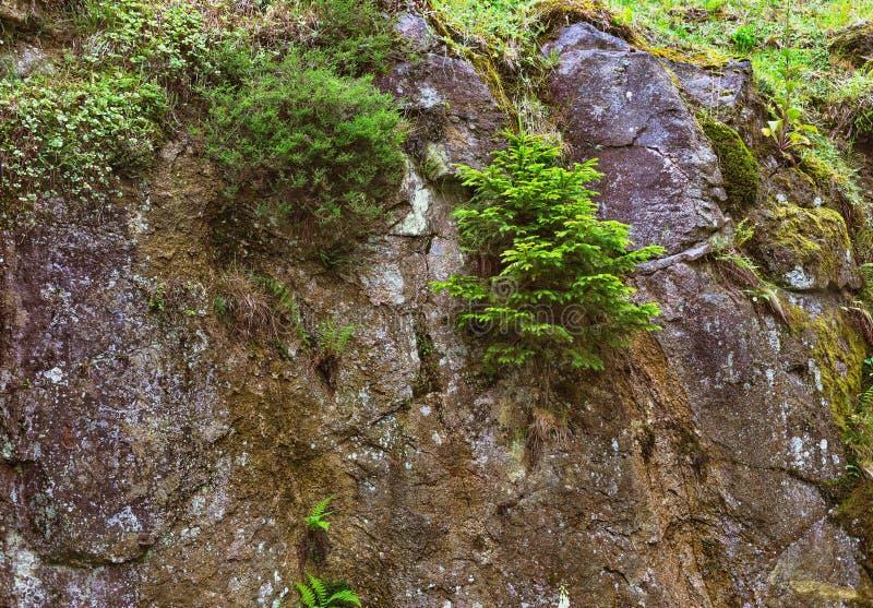 Picea y otras plantas que crecen en las rocas imágenes de archivo libres de regalías