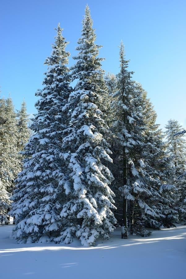 Piceas del invierno imágenes de archivo libres de regalías