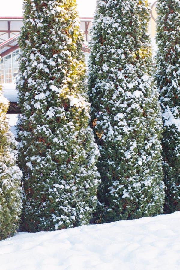 Piceas del invierno en el parque cubierto por la nieve fotos de archivo libres de regalías