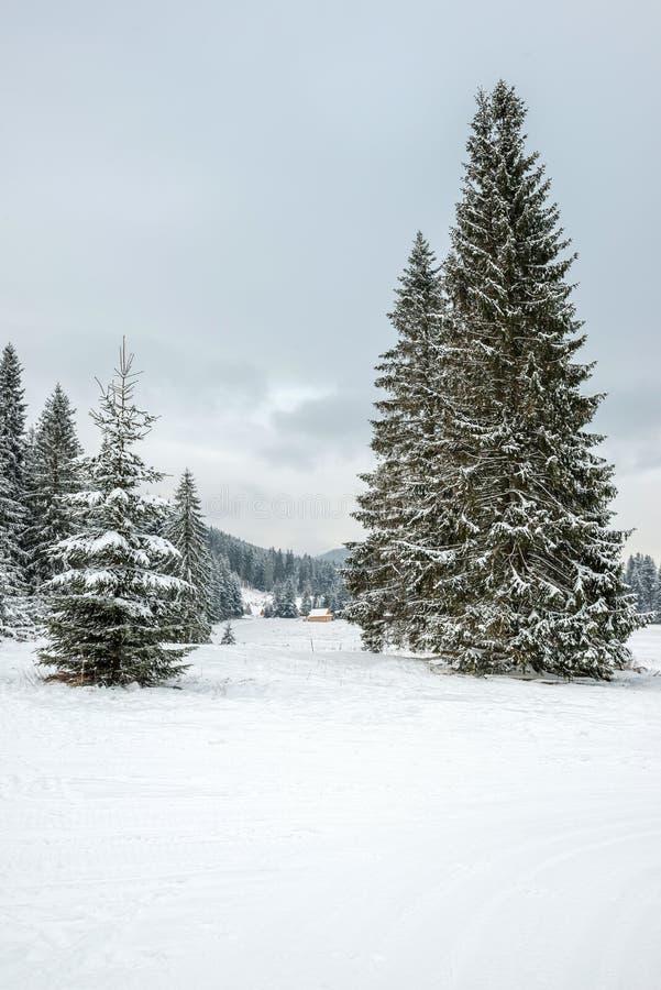 Piceas maravillosas, enormes cerca del día hermoso del invierno del bosque, nublado y escarchado, Zakopane, Polonia imagenes de archivo