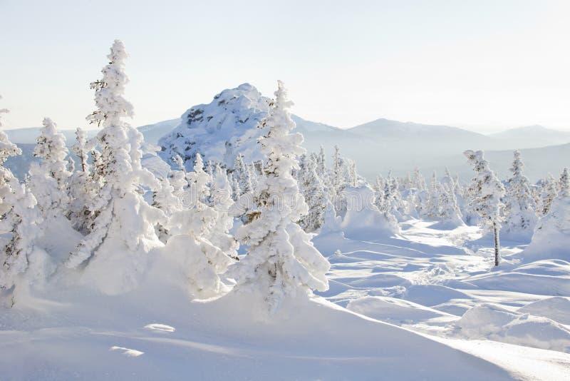 Piceas nevadas Cordillera Zyuratkul, paisaje del invierno imagen de archivo