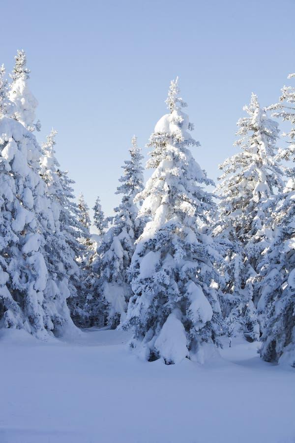 Piceas nevadas del bosque del invierno fotos de archivo