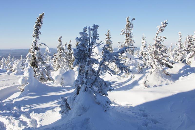 Piceas nevadas del bosque del invierno foto de archivo
