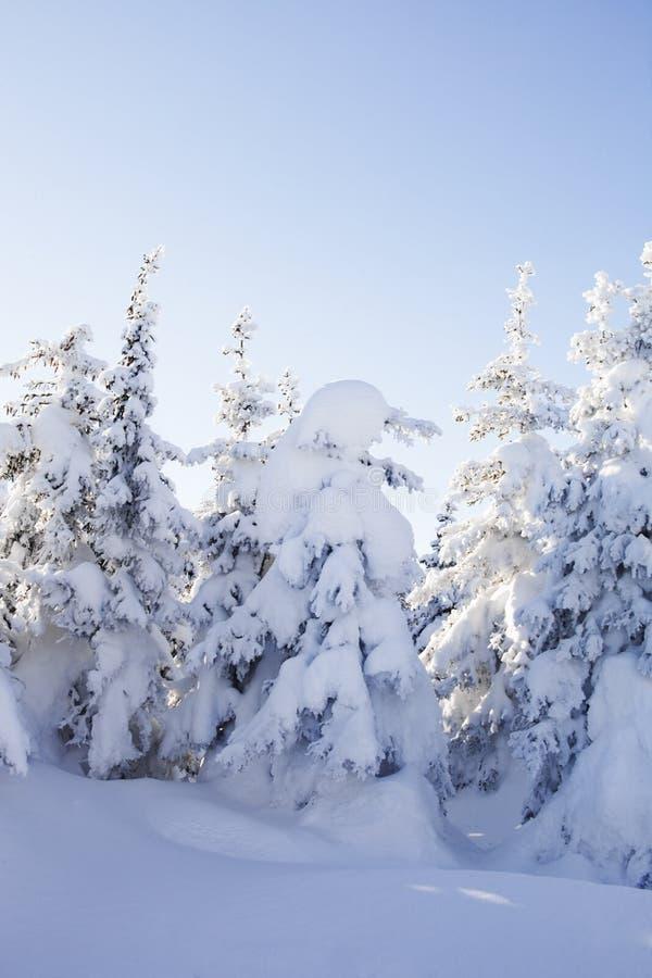 Piceas nevadas del bosque del invierno imagenes de archivo