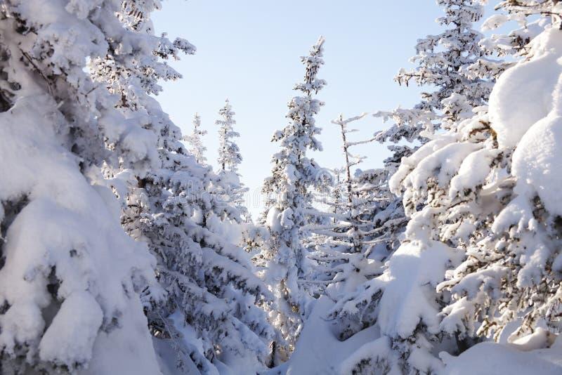 Piceas nevadas del bosque del invierno fotos de archivo libres de regalías