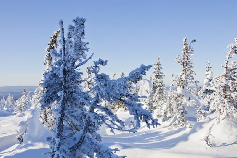 Piceas nevadas del bosque del invierno imagen de archivo