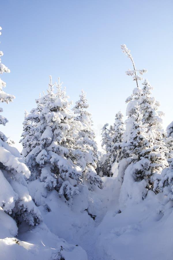 Piceas nevadas del bosque del invierno imagen de archivo libre de regalías