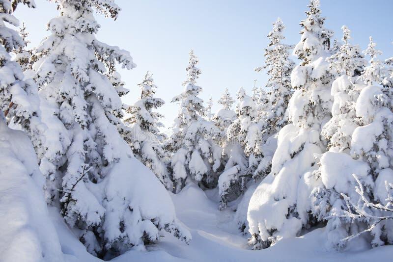 Piceas nevadas del bosque del invierno imágenes de archivo libres de regalías