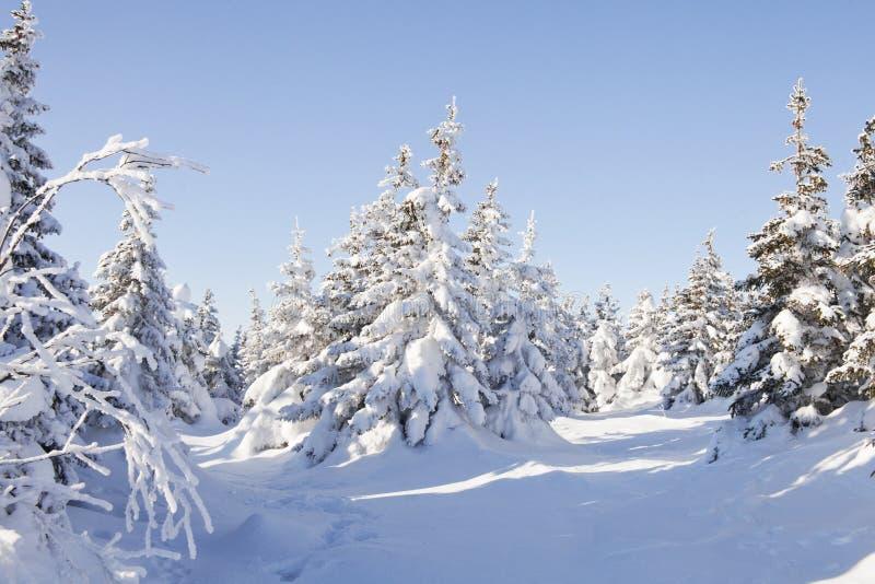 Piceas nevadas del bosque del invierno foto de archivo libre de regalías