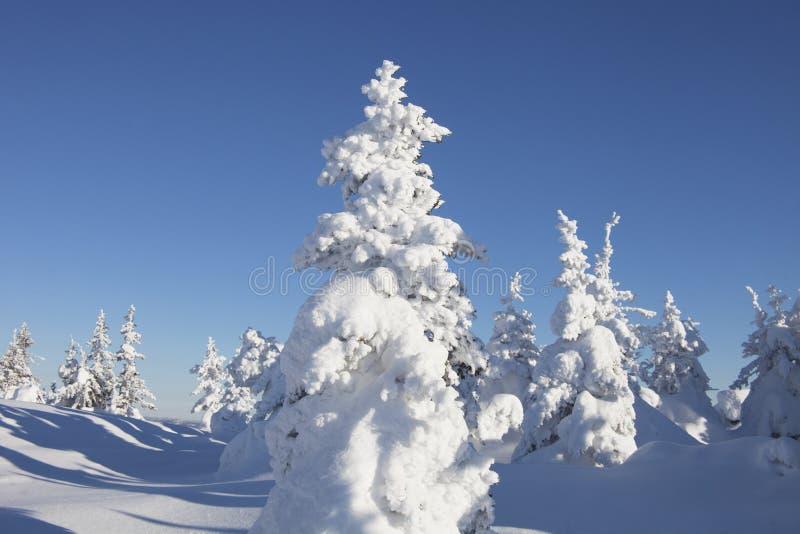 Piceas nevadas del bosque del invierno fotografía de archivo