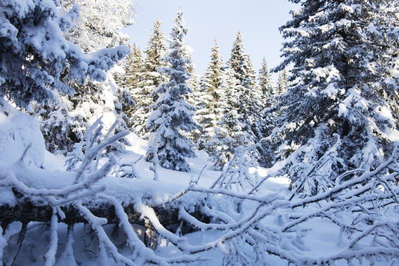 Piceas nevadas del bosque del invierno fotografía de archivo libre de regalías