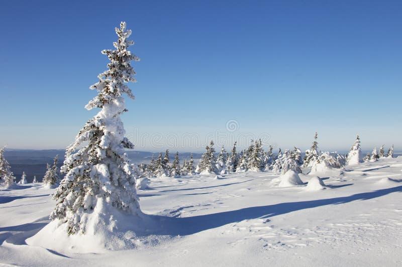 Piceas nevadas del bosque del invierno Paisaje de Ural imagen de archivo