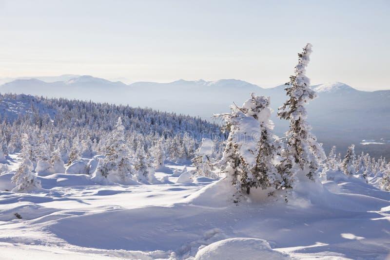 Piceas nevadas del bosque del invierno Paisaje de Ural fotos de archivo libres de regalías