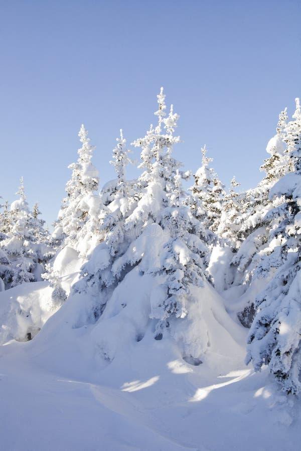 Piceas nevadas del bosque del invierno Paisaje de Ural imagenes de archivo