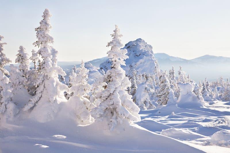 Piceas nevadas Luz de la tarde del bosque del invierno fotografía de archivo libre de regalías