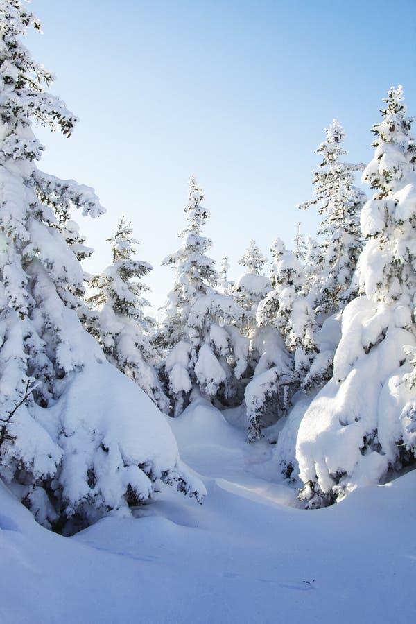 Piceas nevadas Paisaje de Ural del bosque del invierno foto de archivo