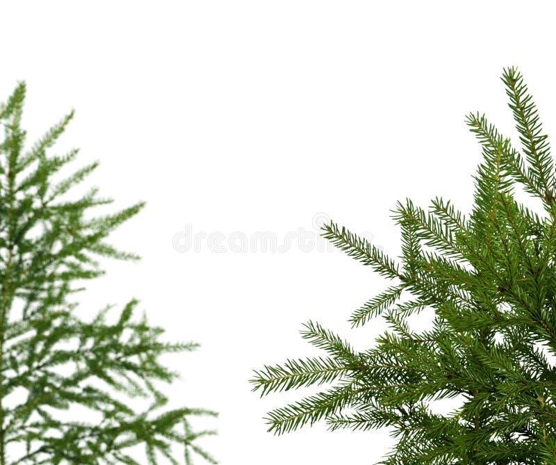 Piceas verdes jovenes aisladas en blanco fotografía de archivo