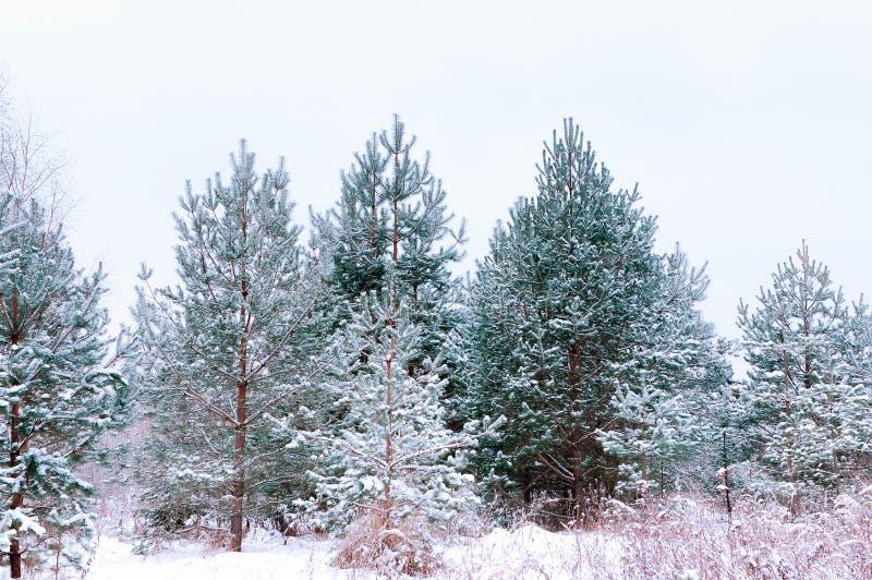 Piceas y pinos nevados imagenes de archivo