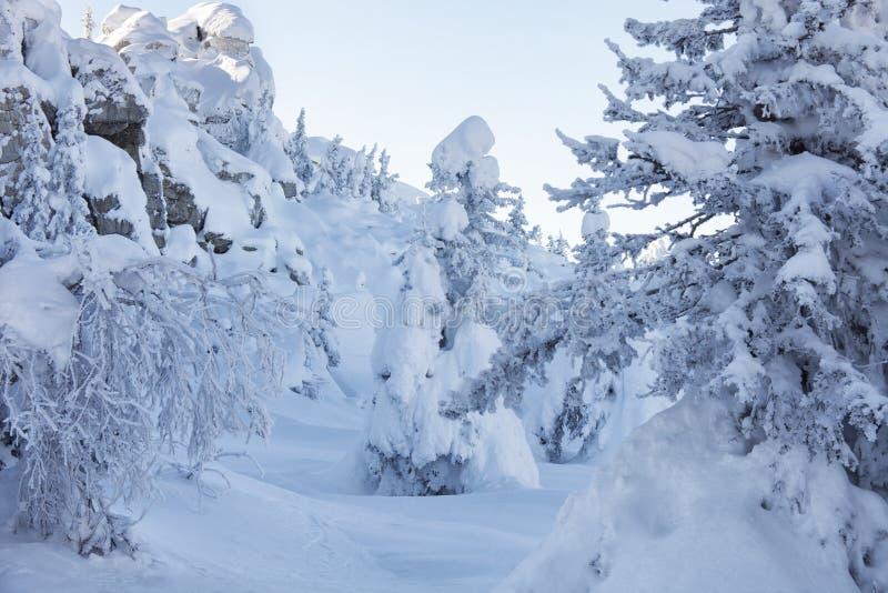 Piceas y rocas nevadas Montaña Zyuratkul, tierras del invierno foto de archivo