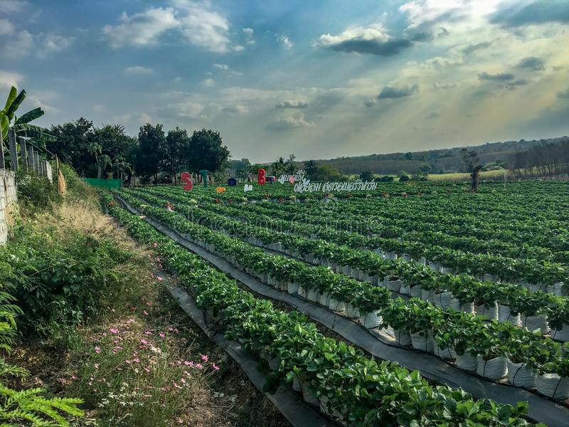 Pick Your Own Berry Farm in Udon Thani Province, Thailand. A pick your own berry farm in Udon Thani Province, Thailand stock photos
