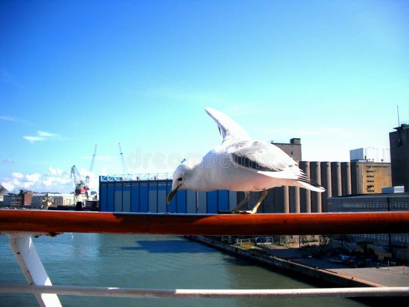 Picka för Seagull arkivbilder