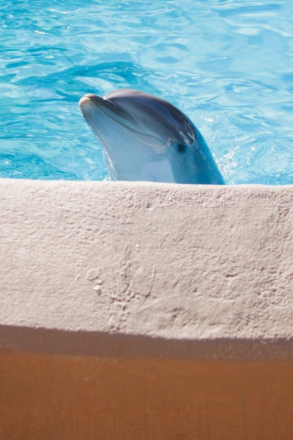 Pickaboo del delfino fotografia stock