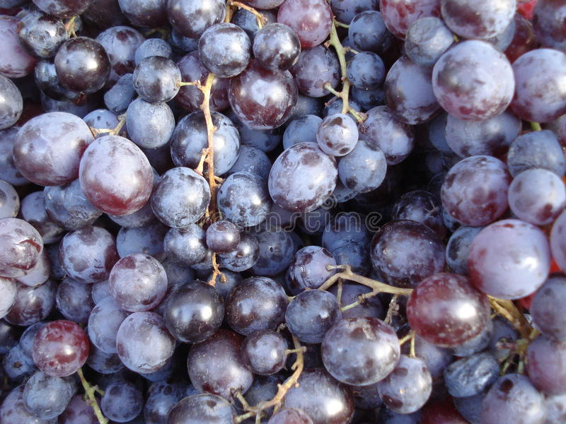 Picked black grapes. Picked grapes of Black Muscat variety royalty free stock image