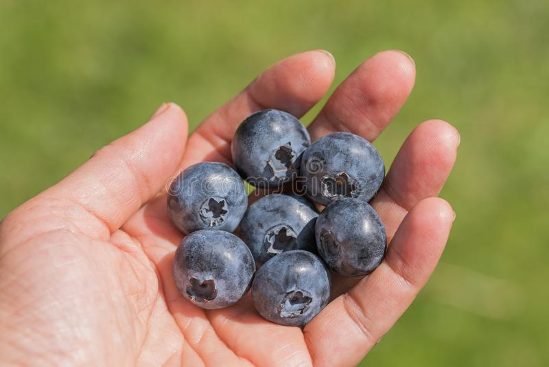 Picked blueberries in the palm of a female hand stock photo